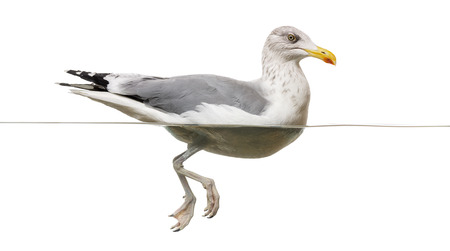 larus: European Herring Gull floating in the water, Larus argentatus, isolated on white Stock Photo