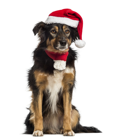 Border collie with christmas hat and scarf, sitting, isolated on white photo