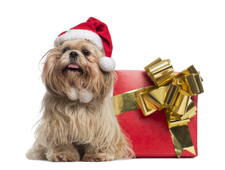 Shih tzu with christmas hat, sitting next to a present box, isolated on white photo