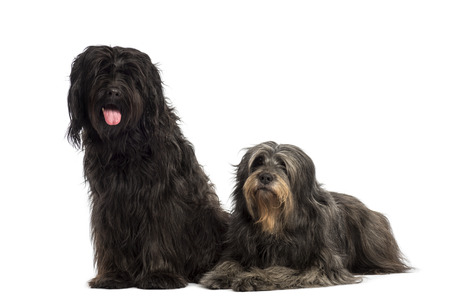 panting: Couple of Catalan sheepdogs being together, panting, isolated on white