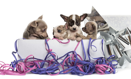 Group of Chihuahua puppies in a present box with streamers, isolated on white photo