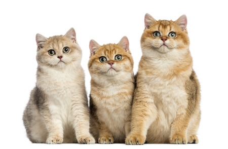 british shorthair: Group of British shorthair sitting in a row, isolated on white
