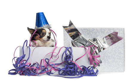 Chihuahua wearing a party hat in a present box with streamers, isolated on white photo
