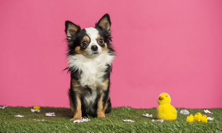 Chihuahua sitting in an easter scenery photo