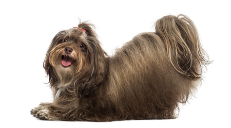 submissiveness: Side view of a Maltese bowing, panting, looking at the camera, isolated on white