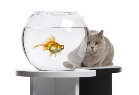 Cat looking at a goldfish in a fish bowl photo