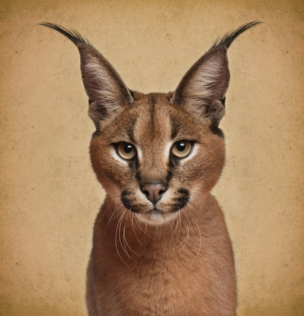 big head: Caracal, 6 months old, in front of brown background Stock Photo