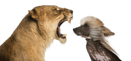troublemaker: Close-up of  Lioness roaring at a Chinese Crested Dogs face