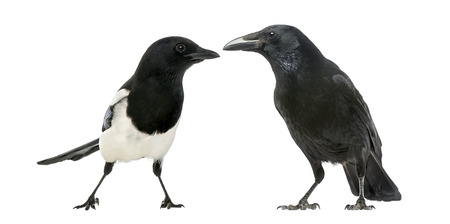 carrion: Common Magpie and Carrion Crow facing each other