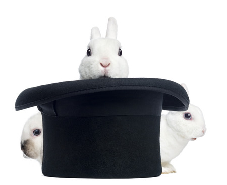 top hat: Three mini rex rabbits appearing from a top hat,