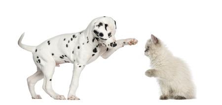 Dalmatan puppy and kitten high-fiving