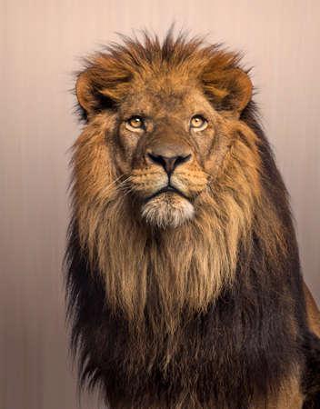 leones: Le�n mirando hacia arriba, Panthera Leo sobre fondo marr�n
