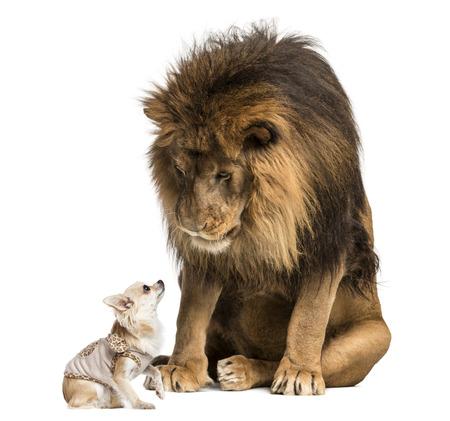 Löwen sitzt und schaut auf einen Chihuahua gekleidet