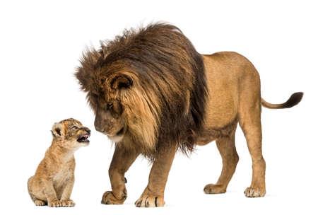 Löwen stehen und schaut ein Löwenbaby