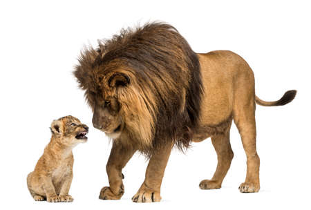 cachorro: León de pie y mirando un cachorro de león Foto de archivo