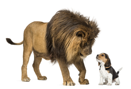 Lion standing and looking at a beagle puppy photo