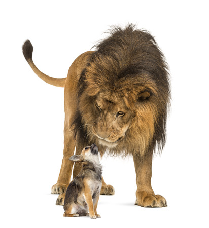 Lion sitting and looking at a chihuahua photo