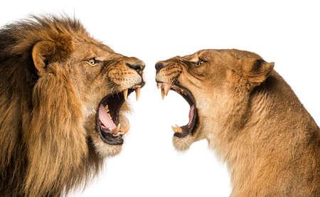 Close-up der ein brüllender Löwe und eine Löwin einander an