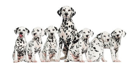 Mother Dalmatian sitting between her puppies