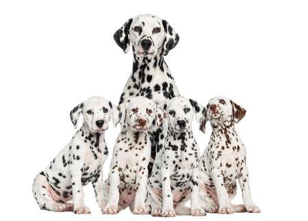 Mutter hinter ihr Dalmatiner Welpen sitzen Lizenzfreie Bilder