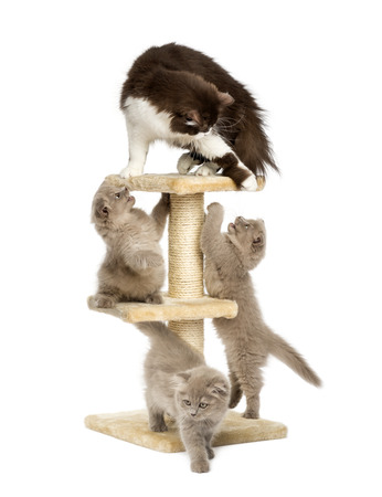 Mother cat playing with her kittens on a cat tree photo