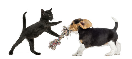 Black kitten and Beagle puppy playing with a toy photo