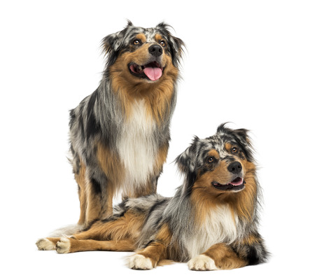 Two Australian shepherds standing, lying and looking up photo
