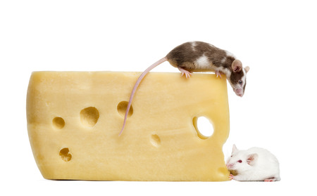 mouse perched on top of a big piece of cheese, looking down, Mus musculus photo