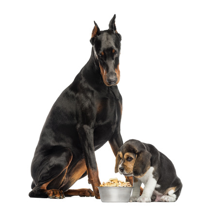 beagle puppy: Doberman Pinscher sittingand looking down at a beagle puppy eating