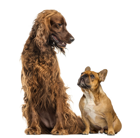 dissimilarity: French Bulldog sitting and looking up at an Irish setter