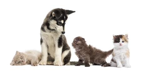 puppy and kitten: Husky malamute puppy sitting and surrounded by kittens Stock Photo