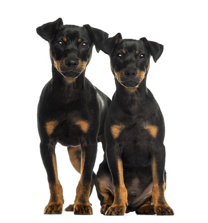 doberman: Two Pinscher sitting, standing and looking at the camera