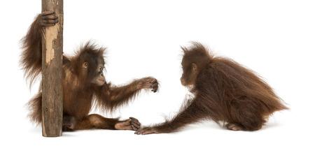 orangutan: Two young Bornean orangutan playing together