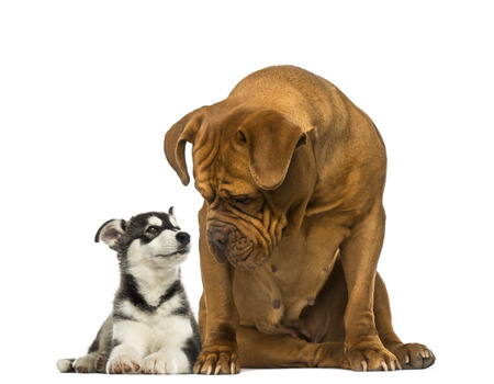 Dogue de Bordeaux sitting and looking at a husky malamute lying Stock Photo