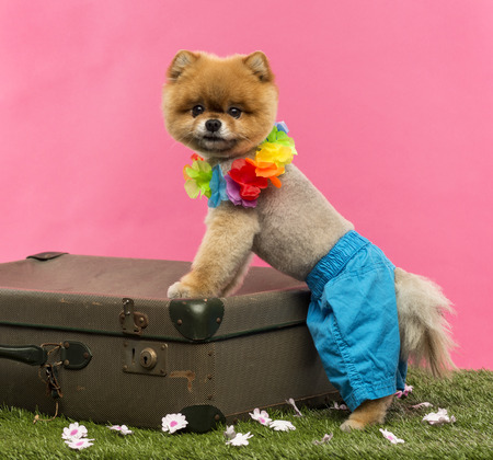 hawaiian lei: Groomed Pomeranian dog wearing shorts and Hawaiian lei and leaning on an old suitcase on grass in front of pink backgound