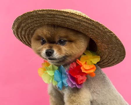 hawaiian lei: Close-up of a Pomeranian dog wearing a colored hat and a Hawaiian lei in front of a pink background