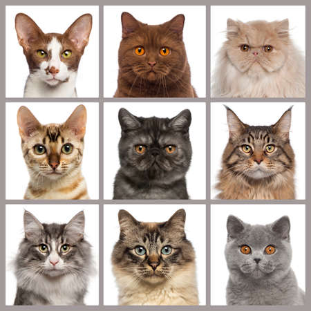 head shot: Nine cat heads looking at the camera Stock Photo