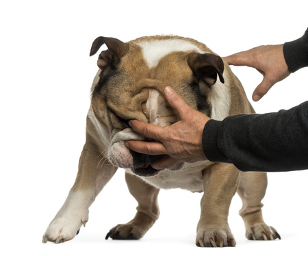 disobedient: Disobedient English Bulldog Stock Photo