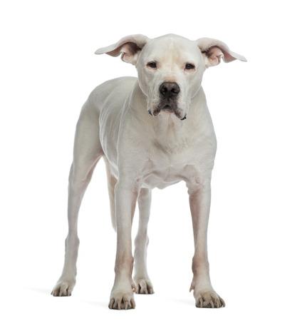 Dogo Argentino stehen und schaut in die Kamera