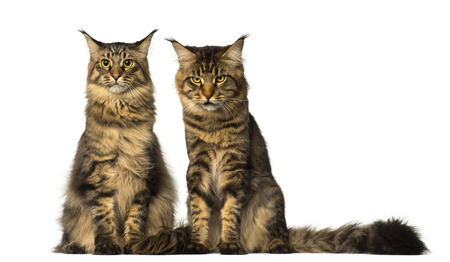 coons: Two Maine Coons sitting and one of them is sulking Stock Photo