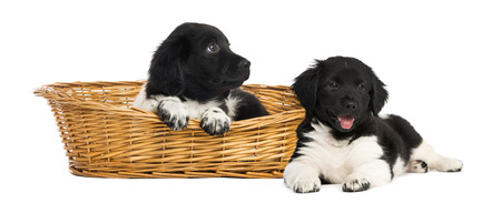 Two Stabyhoun puppies in a wicker basket photo