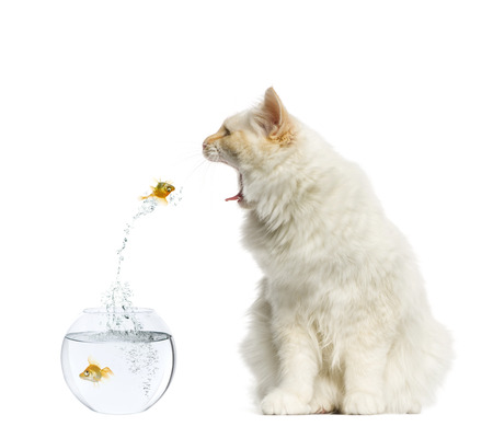 Cat reaching at a goldfish jumping out of its aquarium photo