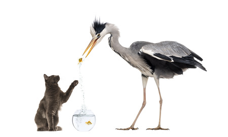 Grey Heron and a cat playing with a goldfish photo