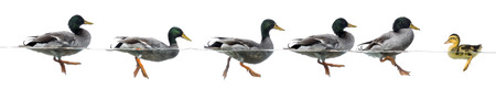 domestic duck: Duckling stand in the way of a group of ducks, isolated Stock Photo