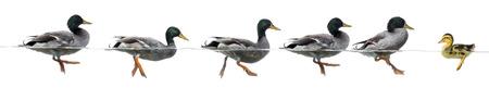 PATO: Patito se interponen en el camino de un grupo de patos, aislado Foto de archivo