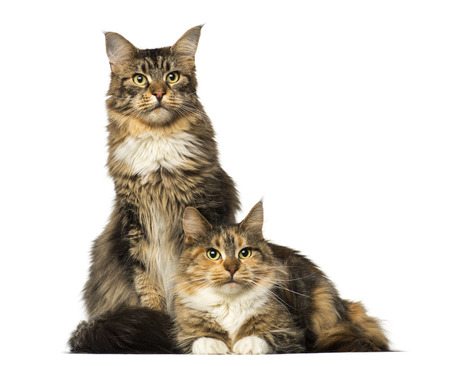 coons: Two Maine Coons sitting, lying and looking away Stock Photo