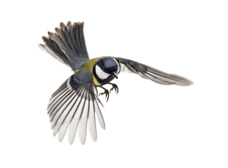 parus major: great tit flying - Parus major Stock Photo