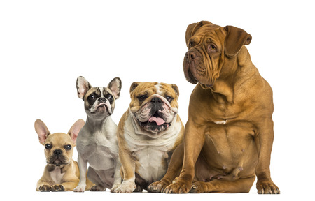 Dogue de Bordeaux and Bulldogs sitting and lying photo