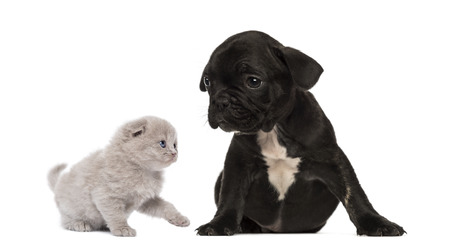 Kitten meets a French bulldog puppy sitting photo