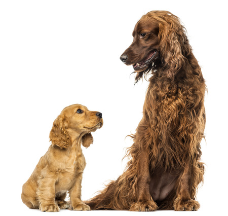 english cocker spaniel: English Cocker spaniel puppy looking up at an Irish setter